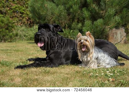 Yorkshire Terrier And Big Black Schnauzer Dod On The Lawn.