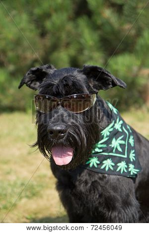 Big Black Schnauzer Dog Is Posing For The Camera
