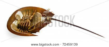Californian Horsehoe Crab On White Background