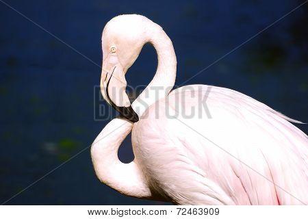 Flamingo At Kl Bird Park.