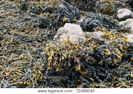 Bladderwrack Growing On Rocks From Close