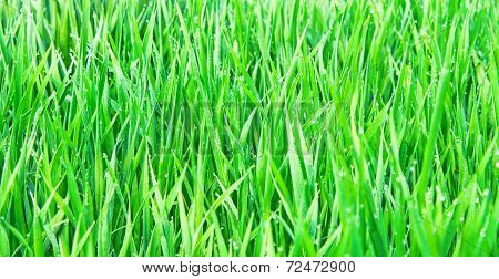 Fresh Green Grass With Water Droplet