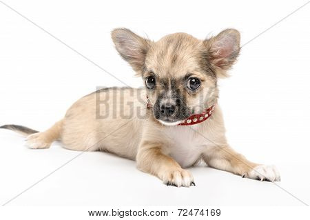 Chihuahua puppy wearing red collar