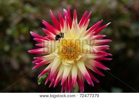 Bee on a Dahlia