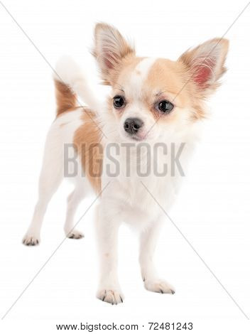 White with red chihuahua standing isolated