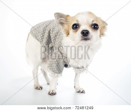 Glamour Chihuahua dog wearing fashion dress with pearl necklace