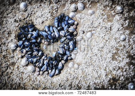 Mussels Growing In Shape Of Heart