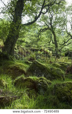 Spring  in mossy Forest, Scotland