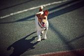 stock photo of peppy  - young Jack Russel Terrier walking with high ear  - JPG