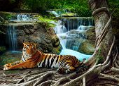 picture of tigers  - indochina tiger lying with relaxing under banyantree against beautiful pure nature limestone waterfalls use as green natural background backdrop