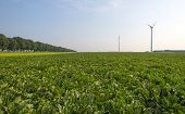 stock photo of turnips  - Turnip growing on a field at fall - JPG