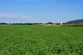 picture of alfalfa  - A lush green field of alfalfa under a blue sky - JPG
