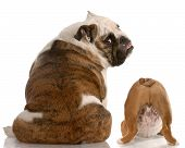 foto of derriere  - english bulldog mother and puppy with back to viewer with reflection on white background - JPG