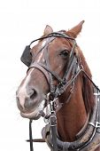 stock photo of blinders  - A brown horse over the white background - JPG