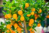 stock photo of tangerine-tree  - ripe mandarines growing on the tangerine tree - JPG
