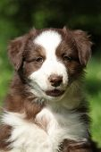 pic of australian shepherd  - Portrait of amazing australian shepherd puppy which is sitting in the grass - JPG
