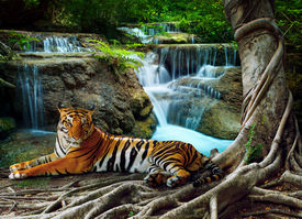 foto of jungle animal  - indochina tiger lying with relaxing under banyantree against beautiful pure nature limestone waterfalls use as green natural background backdrop  - JPG