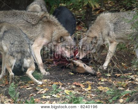 Family meal for a wolf pack