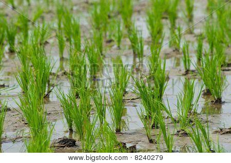 Rice Seedlings In Thailand