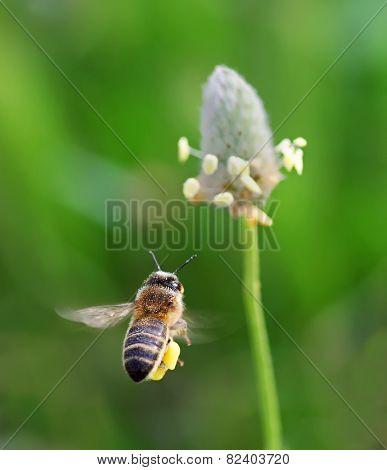 abeja, volando , flor
