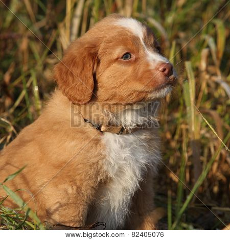 Gorgeous Puppy Of Nova Scotia Sitting In Nature