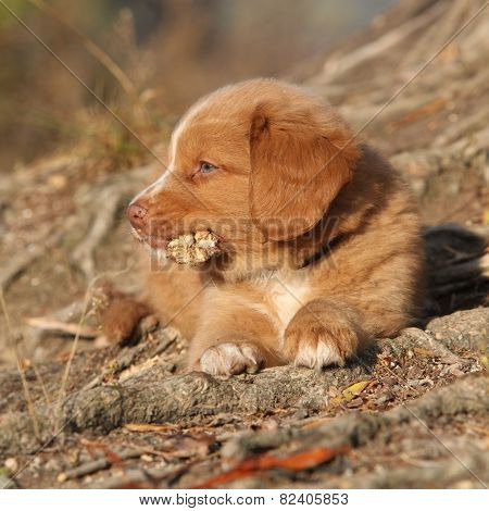 Gorgeous Puppy Of Nova Scotia Lying On Roots