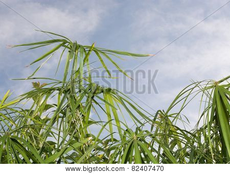Umbrella Papyrus (cyperus Papyrus) And Blue Sky