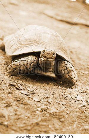 Tortoise Crawling