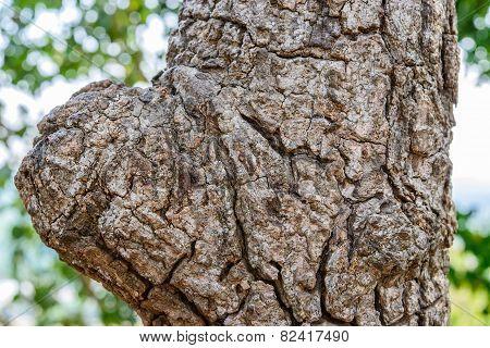 Close Up Of Bark And Gnarl