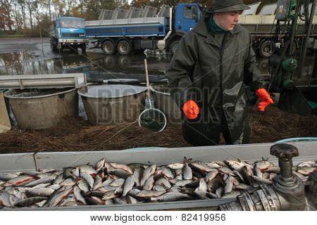 HORUSICE, CZECH REPUBLIC - OCTOBER 21, 2013: Fisherman sorts a fresh catch of rudd (Scardinius erythropthalmus) during a autumn mass fishing at the Horusicky Pond in South Bohemia, Czech Republic.