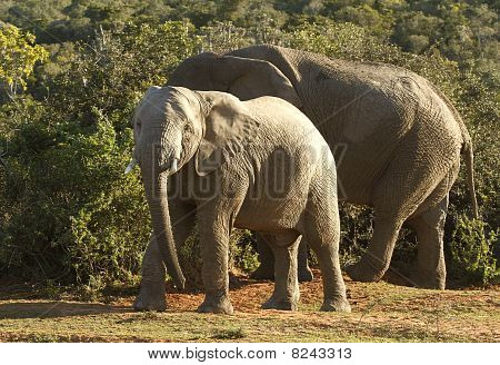 Elephants And Thorn Trees