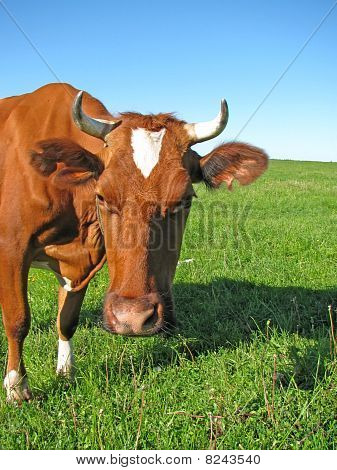 Cow At The Pasture