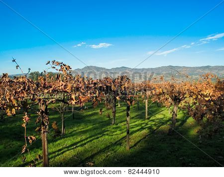 Vineyards In Nappa Valley, California