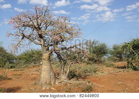 Desert-rose, Ethiopia, Africa