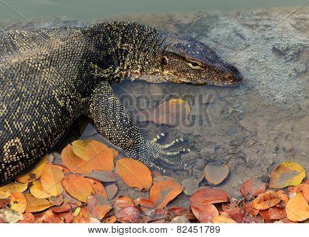 Close Up Face Of Water Monitor Varanus Salvator Lying In Water Pool