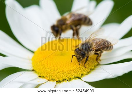 Bee Sucking Nectar
