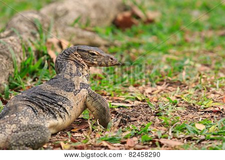 Close Up Face Of Water Monitor Varanus Salvator On Natural Field