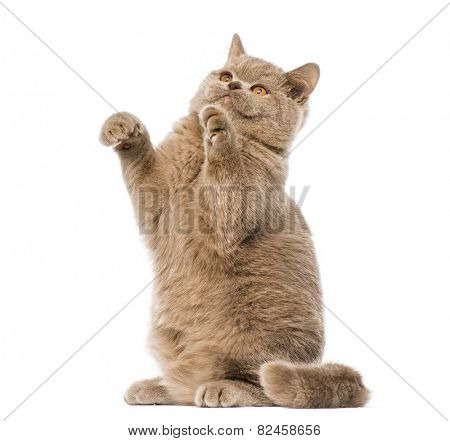 British shorthair pawing up
