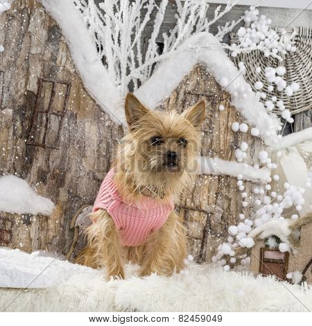 Cairn terrier in front of a Christmas scenery
