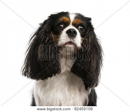 Close-up of a Cavalier King Charles Spaniel (3 years old)