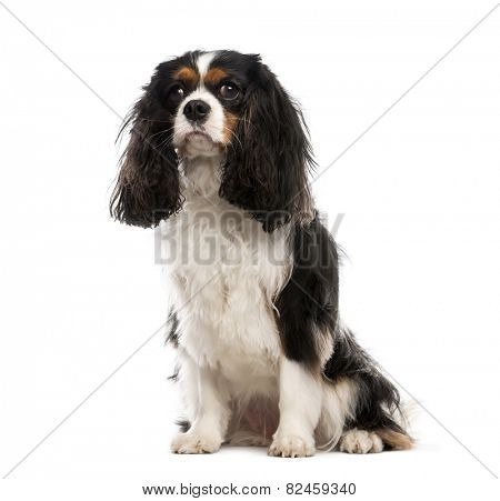 Cavalier King Charles Spaniel (3 years old)