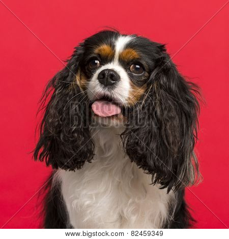Close-up of a Cavalier King Charles Spaniel (3 years old) in front of a pink background