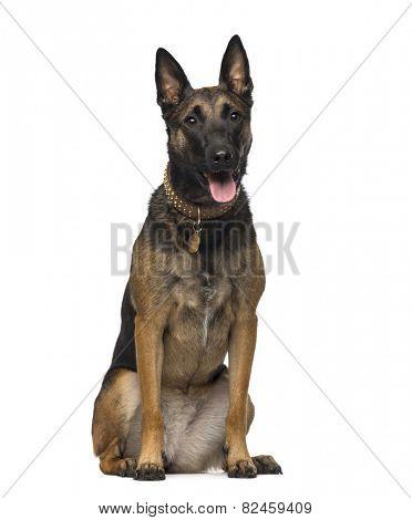 Belgian Shepherd (2 years old)