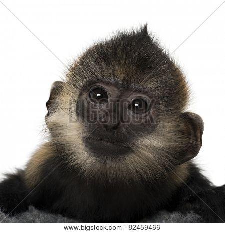 Close-up of a baby Francois Langur (4 months)