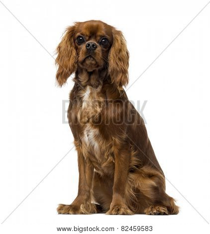 Cavalier King Charles Spaniel (8 months old)