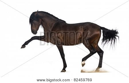 Andalusian horse performing Spanish walk