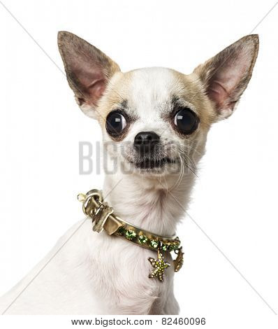 Chihuahua (3 years old) wearing a collar