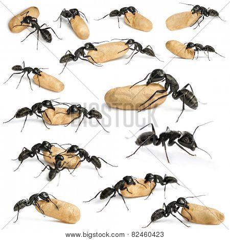 Composition of a Carpenter ant, Camponotus vagus