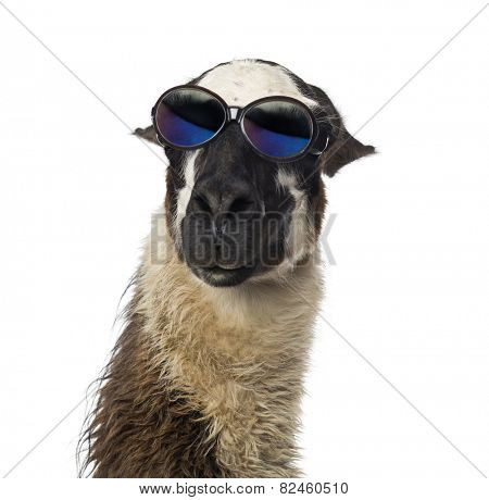 Close-up of a Llama wearing sunglasses
