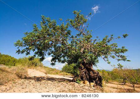 Carob Tree, Ibiza